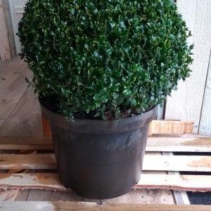 Buxus ball plant