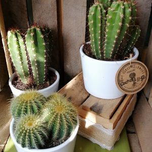 Cactus (Desert)