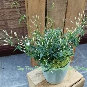 Bay Tree Plant Special