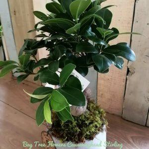 Ginseng Tree